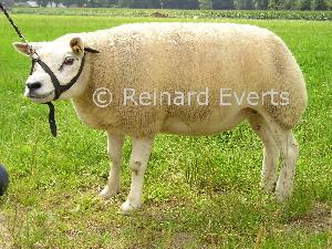 Reserve kampioene 1 jarige ooi ongezoogd